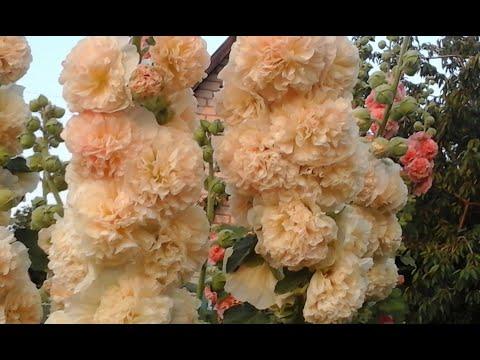 Выращивание ромашки крупной гигантской Посадка и уход