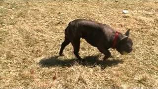French Bulldog Target Training