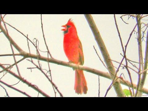 Northern Cardinal Singing Three Songs