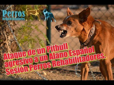 Ataque de Pitbull agresivo a un Alano Español. Sesión Perros Rehabilitadores