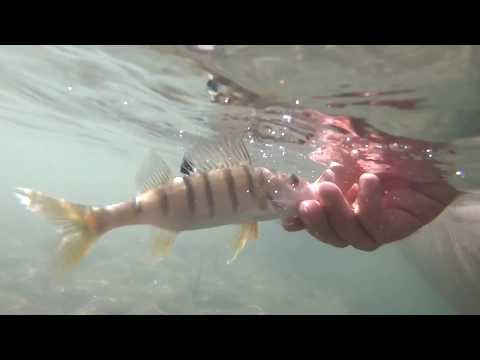 Persici Reali a Spinning da Kayak! Divertimento in Lago (Catch & Release)