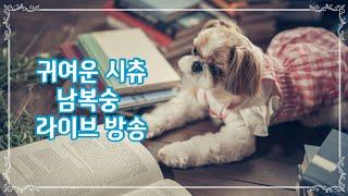 귀여운 시츄 (a.k.a 배신견) 남복숭과 이밤을..
