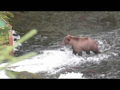 Brown Bears in Cooper Landing, AK