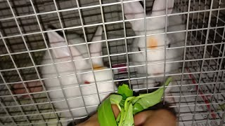 Funny Rabbit Videos 2018. Funny bunny eating vegetables.