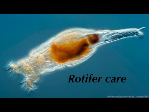 Rotifer Care - Clownfish Rearing, Ep.1