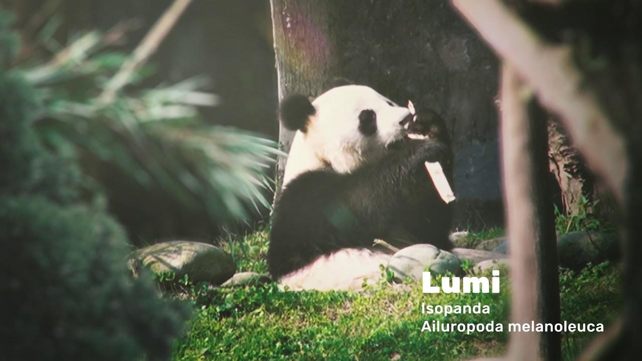 ähtäri Panda Live