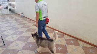 Alaskan Malamute  obedience training