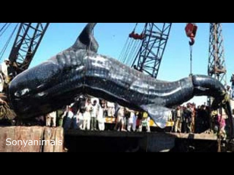Amazing monster fish big catch fishing in the world best for Coolest fish in the world