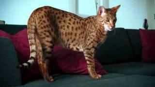 Рейтинг самых необычных кошек