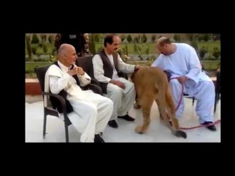 Afghanistan President vs Lion - Ashraf Ghani