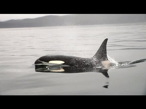 Orcas fishing with Dall's porpoises