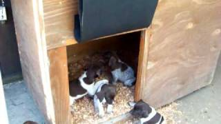 German Shorthaired Pointer Pups For Sale