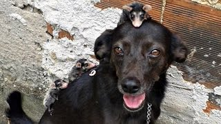 Dog Adopts Group of Baby Opossum Orphans After Their Mom Died