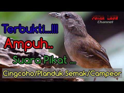 Suara Pikat Burung Planduk Semak,campeor,cingcoho. V.2.0