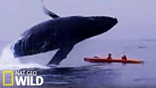 Une baleine écrase deux kayakistes - Les animaux déraillent