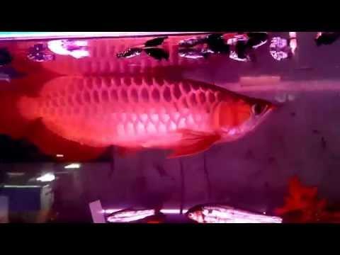 ปลามังกรแดงพาฝัน4x200 หางเพชร ไดมอนด์ บังแระ