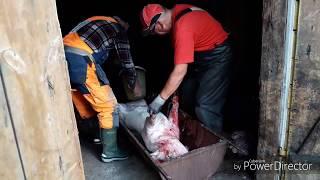 Забій свині та швидка чистка( 20хв.)!!! як це роблять в Швеції!?!