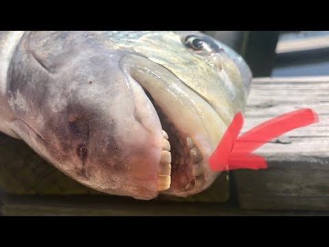 The Fish We Caught Have Human Teeth