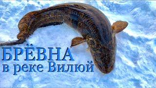 Рыбалка Брёвна в реке Вилюй Ulefone ARMOR 3W