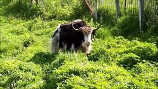 Our one and two year old yaks running in the pasture. The big black...