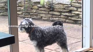 Facts About Miniature Schnauzers