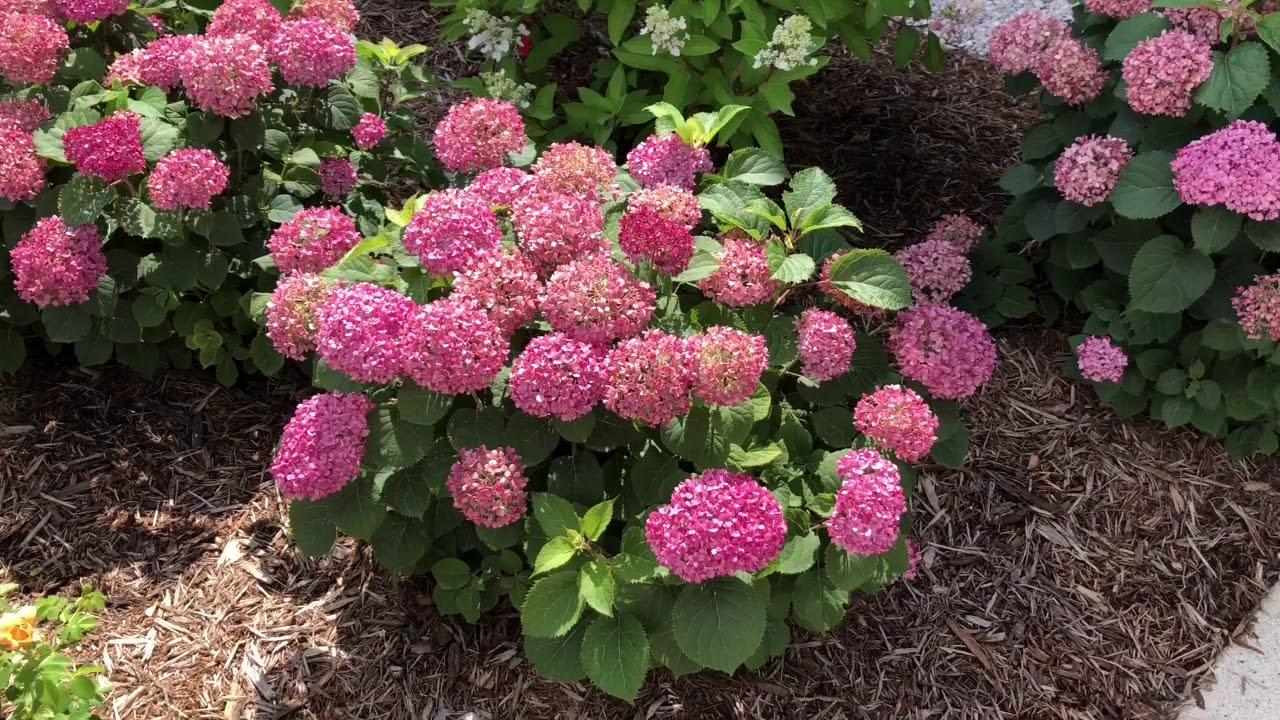 INVINCIBELLE MINI MAUVETTE® Hydrangea | www gardencrossings com