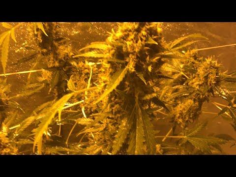 Week 11 weed grow,weed farm,how to grow weed