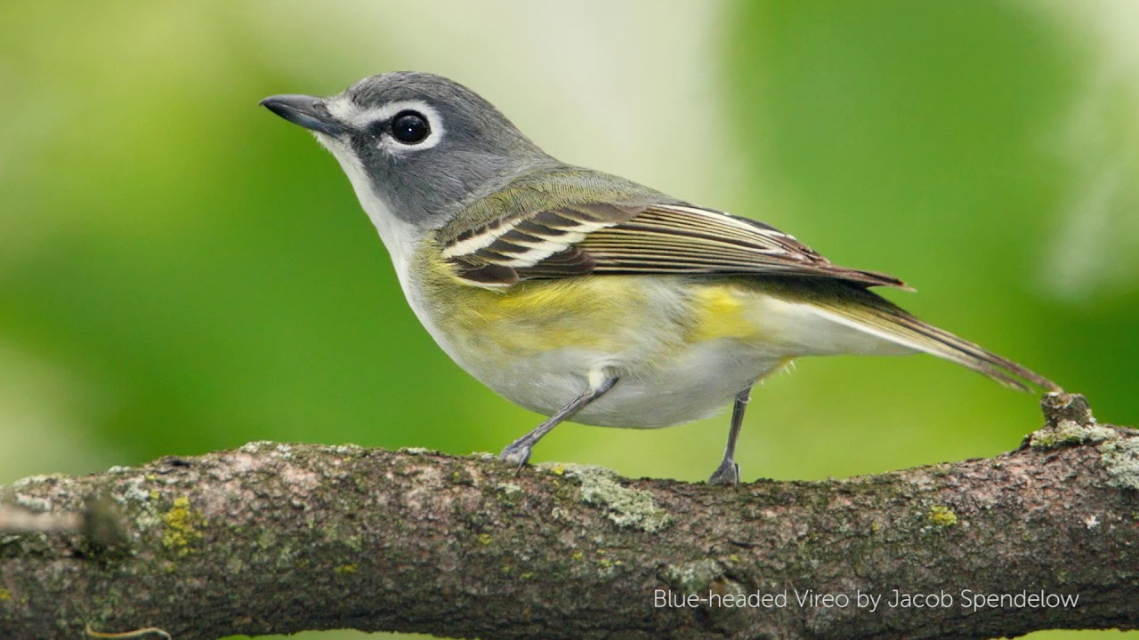 Vireo - photo#3