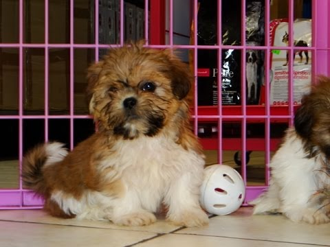 Shih Tzu, Puppies, Dogs, For Sale, In Columbia, South Carolina, SC, Mount  Pleasant, Sumter