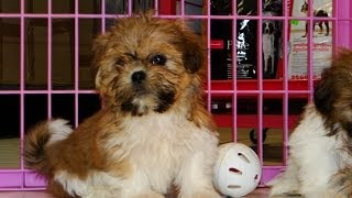 Shih Tzu, Puppies For Sale, In, Memphis, Tennessee, Tn, 19breeders, Clarksville, Chattanooga