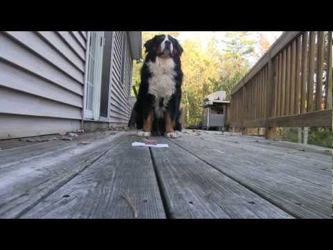 World's Most Patient Bernese Mountain Dog Waits For Cookie