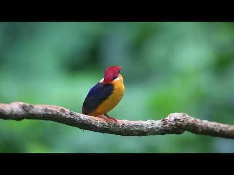 Call Of Oriental Dwarf Kingfisher