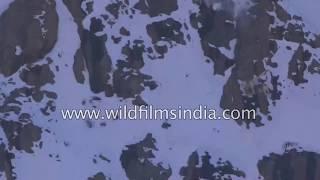 Смотреть клип Невероятная охота снежного барса РЅР° СЃРІРѕСЋ добычу!!!! онлайн