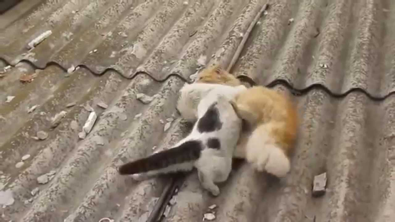Приколы драка Коты сцепилисьза кошку