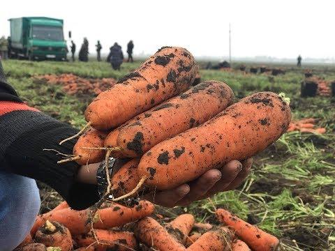 Морковь для хранения Боливар F1.