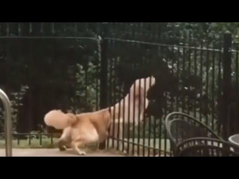 Golden Retriever miraculously squeezes through tiny fence