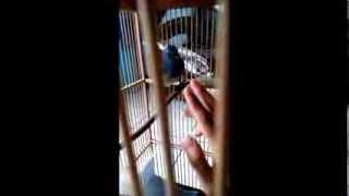 Burung Selendang Biru / Anis Biru Gacor & Jinak!