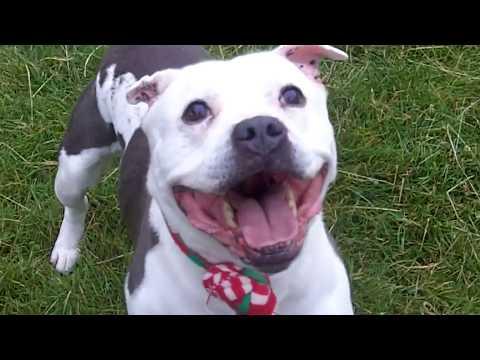 Staffordshire Bull Terrier Babe Milo.