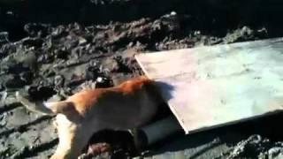 Border Terrier On A Rat