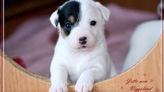 Welpen Parson Russell Terrier J-wurf Vom Niggeland/ Züchter In Nrw