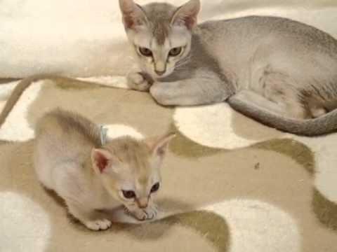 【アンファミリー】シンガプーラ9/9青くんと陽ちゃん。大阪。(10/13撮影10/19up)シンガプーラブリーダーSingapura cat