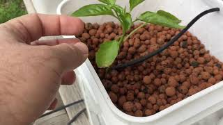Planted Pepper Plants