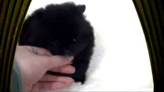 Teacup Pomeranian! Black Pome Daisy:)