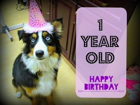 Aspen's First Birthday - Celebrating with an Australian Shepherd