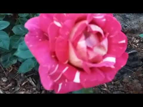 пинк интуишн роза