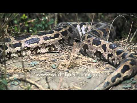 Indian Rock Python or Python molurus, with porcupine quill stuck in his body