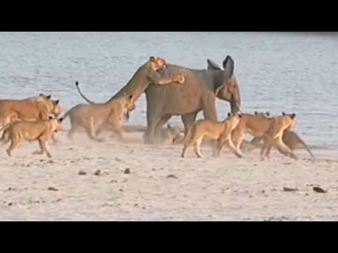 One Elephant vs. 14 Lions! Who Wins? [Video]