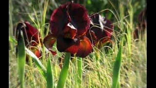Beautiful rare wild Iris flowers, Kalaniot (Anemones) and wild winter flowes