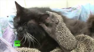 私がなんとかしましょう!母性溢れる聖母黒猫、8匹のハリネズミの赤ちゃんの母親役をかって出る(ロシア)