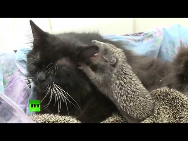 Cat becomes wet-nurse to 8 baby hedgehogs